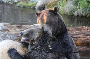 two bears cuddling